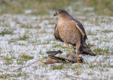 Sharp-Shinned Hawk and one less Bohemian Waxwing
