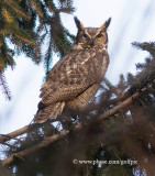 Great Horned Owl receives noisy reception