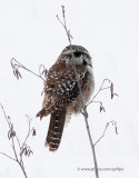 Hawk Owl returns to the same place.  Barred owl at Old Quarry Trail.