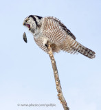 Northern Hawk Owl pellet