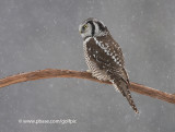 Northern Hawk Owl (one of 15+ reported)