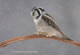 Northern Hawk Owl (part deux)
