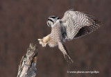Northern Hawk Owl landing