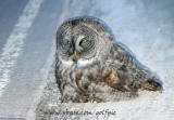Great Gray Owl sitting by side of road watching all the cars go by (2006)