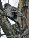 Great Gray Owl making room for more