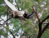 Great Horned Owl with crow takes flight