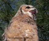 Great Horned Owl (Juvenile) yawning