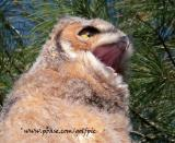 Juvenile Great Horned Owl -  I have watched them swallow a rabbit whole