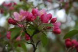 Apple blossoms II