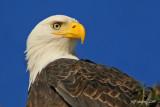bald-eagle-close.jpg