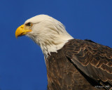 eagle-closeup.jpg