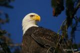 eagle-closeup3.jpg