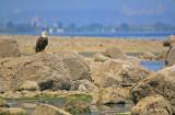 eagle-against-city.jpg