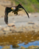 vertical-eagle-with-lunch.jpg