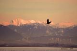 boundary-bay-eagle-5d.jpg