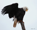 boundary-bay-eagle-5d-cropp.jpg
