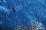 eagle-brakendale.soaring.jpg