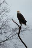 boundary-bay-eagle-5d6.jpg