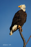 eagle-perched.jpg