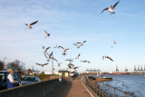 The Seagulls Of Harwich