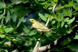 Phylloscopus sibilatrix - Grmov¹èica - Wood warbler