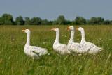 Domaèa gos - Domestic goose