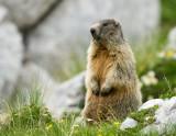 Alpski svizec Marmota marmota Marmot