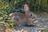 Oryctolagus cuniculus - Divji kunec - European rabbit