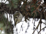 Golden-crowned Kinglet IMG_1990.jpg