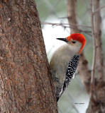 Red-bellied Woodpecker IMG_2161.jpg