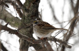 White-throated Sparrow IMG_2171.jpg