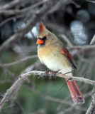 Northern Cardinal female IMG_2194.jpg