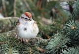 American Tree Sparrow IMG_0055.jpg