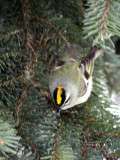 Golden-crowned Kinglet IMG_0068.jpg