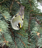Golden-crowned Kinglet IMG_0075.jpg