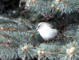 Golden-crowned Kinglet IMG_0166.jpg
