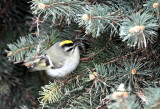 Golden-crowned Kinglet IMG_0203.jpg