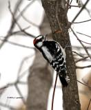 Downy Woodpecker IMG_0014.jpg