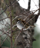White-throated Sparrow IMG_0405.jpg