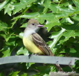 great_crested_flycatcher