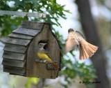 Great-crested Flycatcher IMG_0053.jpg