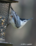 whitebreasted_nuthatch
