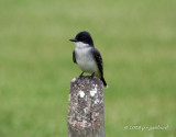 eastern_kingbird