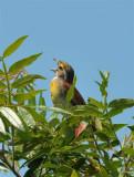 Dickcissel and Grasshopper Sparrow