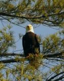 Jocassee Bald Eagle Counts