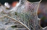 Exoskeleton of a Holly Leaf