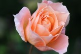 October Rose