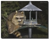 Raccoon Looking For A Meal
