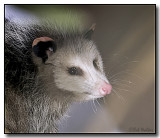 The Virginia Opossum Gallery