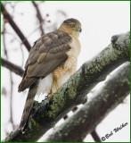 Cooper Hawk (Accipiter cooperil)